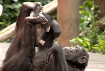 A Message from Chimpanzees '15